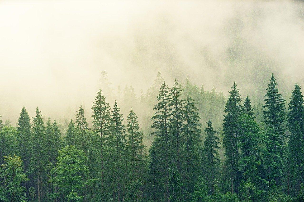 Zamglony las świerkowy