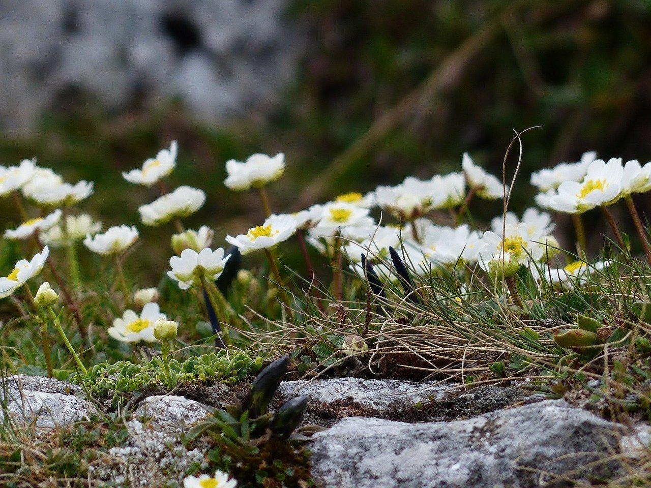 Jaskier alpejski