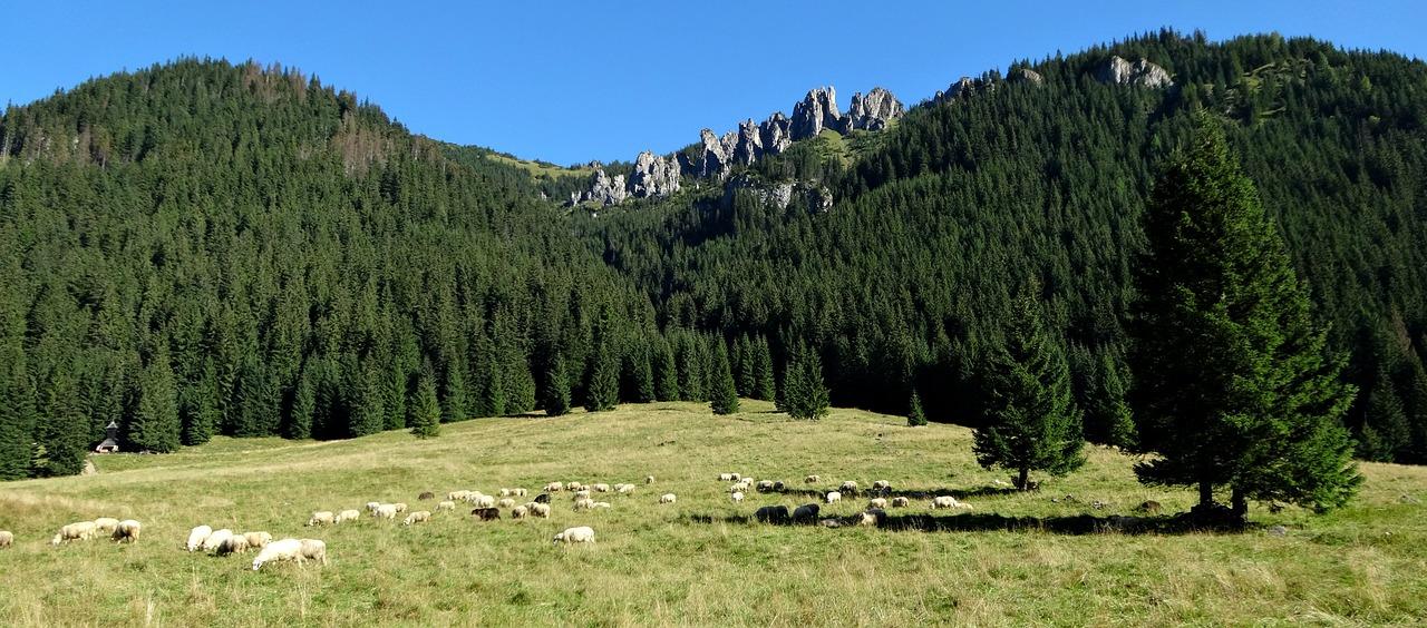Wypasy owiec na polanach Tatr Zachodnich