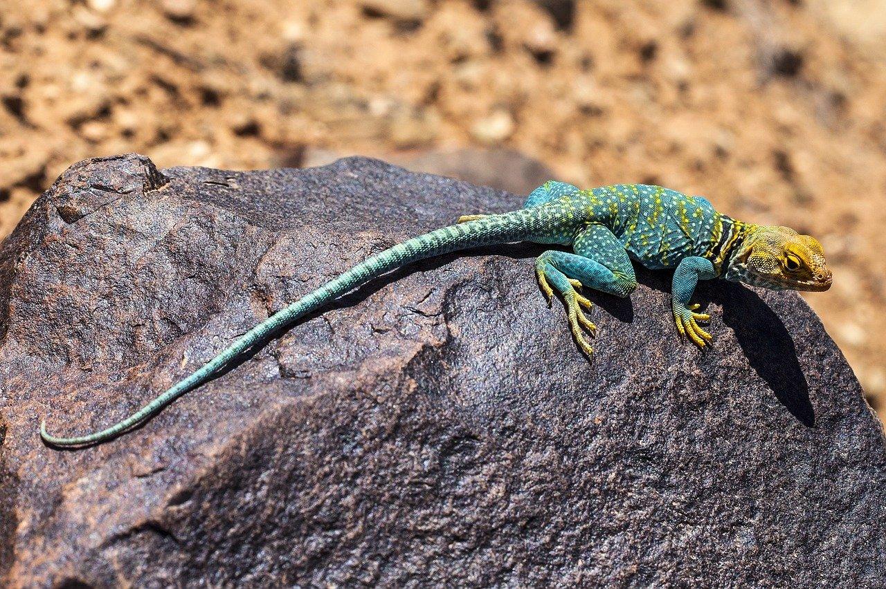 Kolorowa jaszczurka na kamieniu