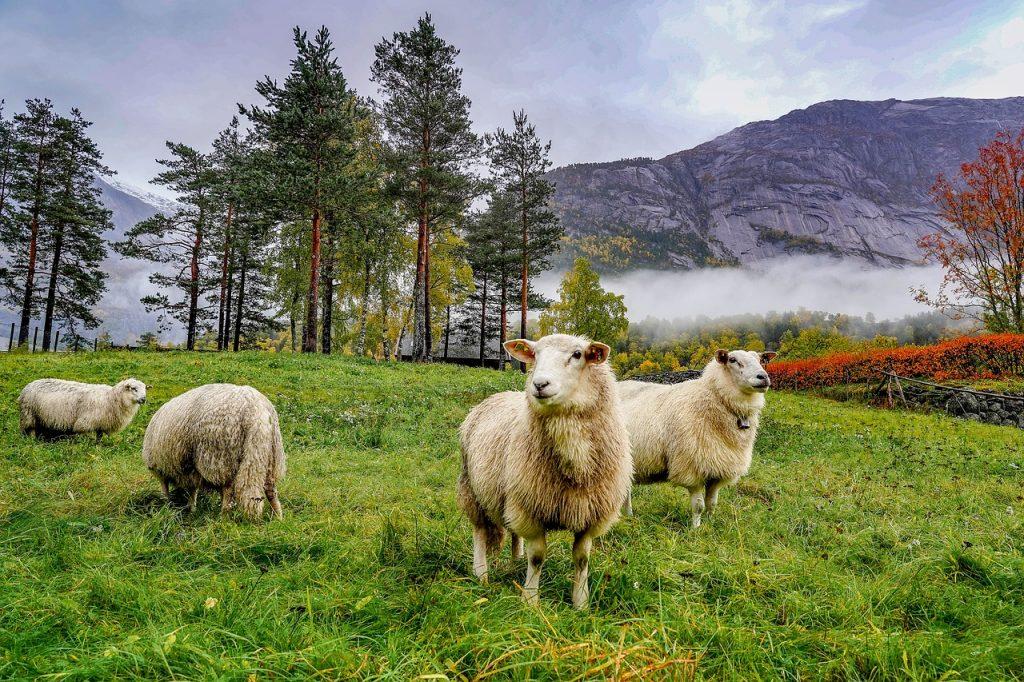 owieczki w górskiej dolinie