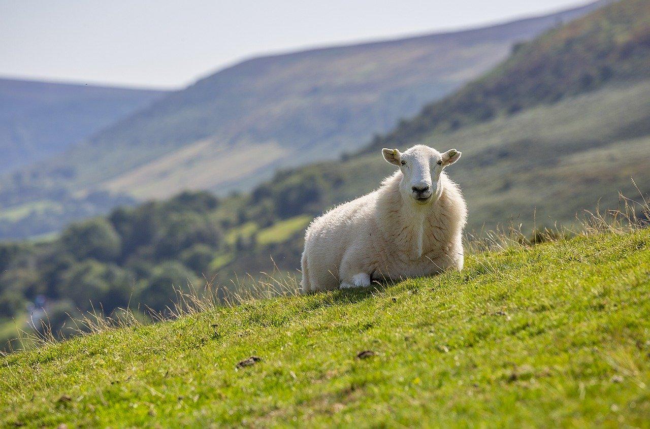 owca na gorskiej polanie