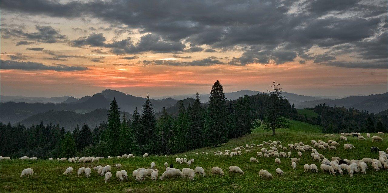 Wypas owiec na tle zachodzacego slonca